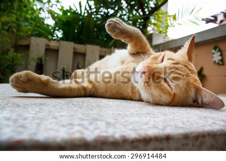 beautiful thai cat laying on table portrait. - stock photo