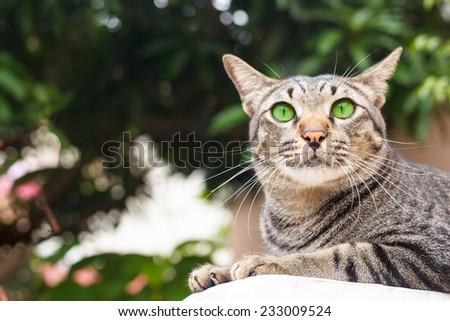 beautiful thai cat laying on wall portrait. - stock photo
