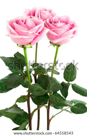 beautiful three roses on a white background - stock photo