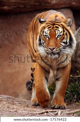 Beautiful tiger - stock photo