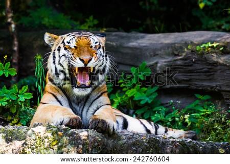 Beautiful tiger. - stock photo