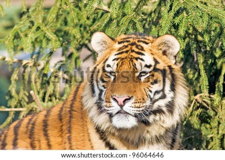 Beautiful tiger cub closeup - with pine trees in the background