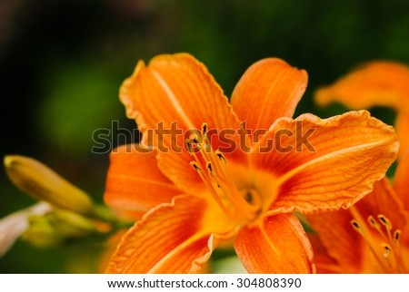 Beautiful tiger lilies in a garden