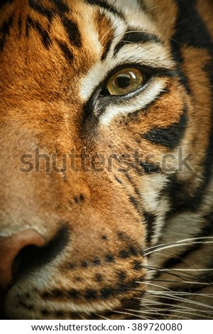 Beautiful tiger look/Beautiful tiger look/Prague Zoo - stock photo