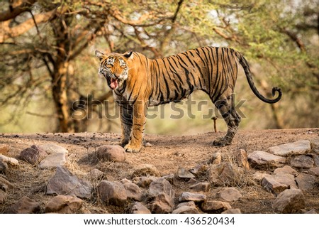 Beautiful tiger mother calls her cubs/wild animal in the nature habitat/India - stock photo