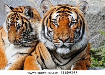 Beautiful Tiger Portrait with kitten