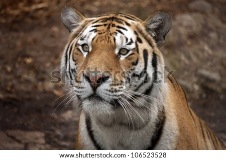Beautiful tiger staring intensely. Full frame and really close up. - stock photo