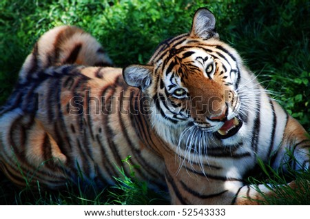 Beautiful tiger staring right at you - stock photo