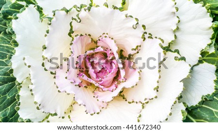 Beautiful top view of cabbage flower on green leafs background or rose flower