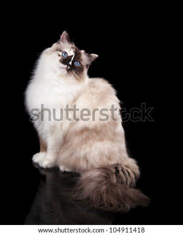 Beautiful Tortie Ragdoll Cat on a Black Background - stock photo