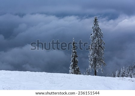 Beautiful tranquil winter landscape with snow covered tall spruce trees on a cloudy misty morning. - stock photo