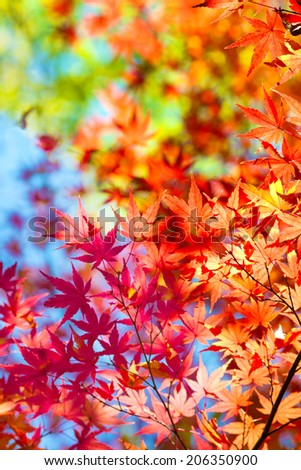 Beautiful transitions of colors of autumn. Colorful spectrum of bright autumn colors, Red, orange, yellow, green leaves on a autumn trees, against a blue sky background.  - stock photo