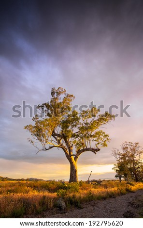 Beautiful tree in the Flinders Ranges, South Australia - stock photo