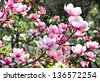 Beautiful trees in bloom with beautiful big flowers - stock photo