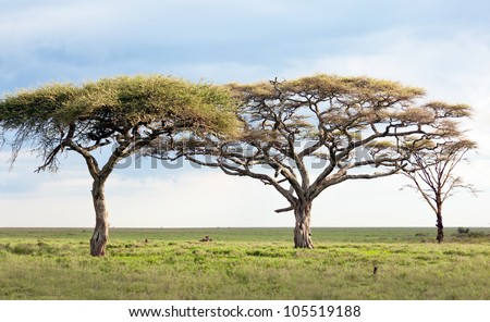 Beautiful trees in Serengeti National Park - Tanzania, East Africa - stock photo