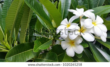 Beautiful Tropical Frangipani Flowers