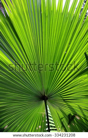Beautiful tropical palm leaf - stock photo