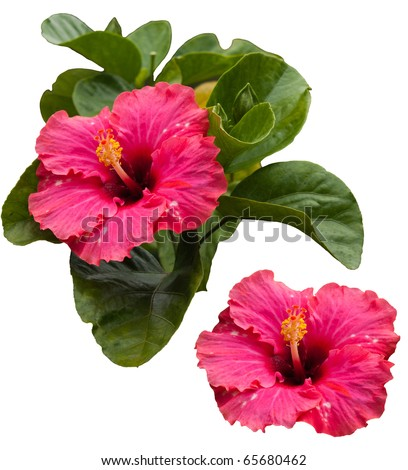 Beautiful tropical pink hibiscus and its leaves, isolated on white background - stock photo