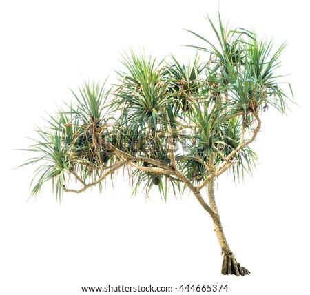 Beautiful tropical plant Pandanus tree isolated on white background. - stock photo