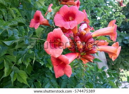 Beautiful trumpetshaped flowers campsis radicans known stock photo beautiful trumpet shaped flowers campsis radicans known as cow itch vine or mightylinksfo Image collections
