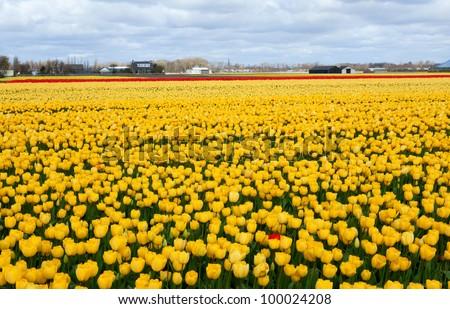 Beautiful tulip field in Holland - stock photo