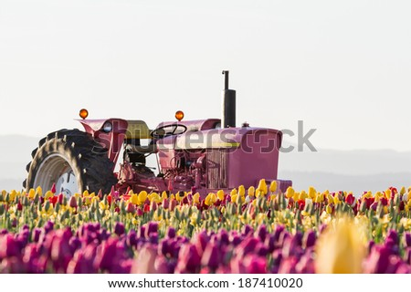 beautiful tulip field with a pink tractor in the middle of the field shot at sunrise in early spring - stock photo