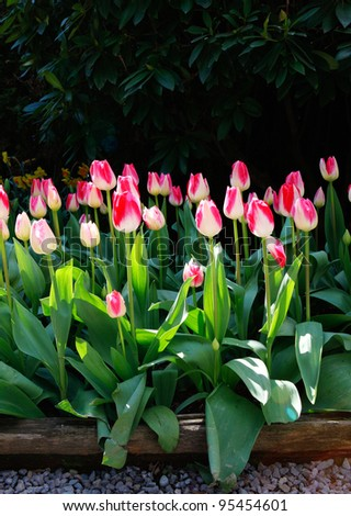 Beautiful tulip fiends in spring time in USA.