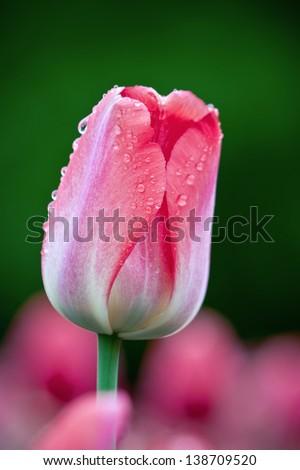 Beautiful tulip flowers taken at  Ottawa Tulip Festival 2013 - stock photo