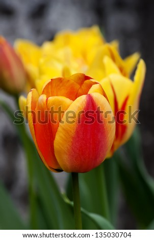 Beautiful tulip in the garden - stock photo