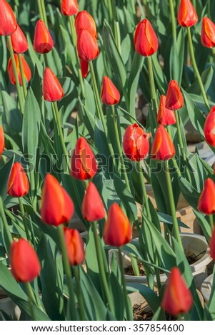 Beautiful tulip plantation - stock photo