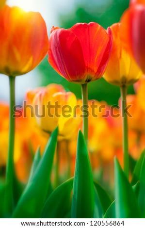 beautiful tulips close-up - stock photo