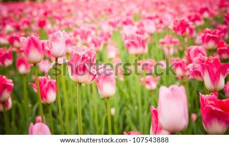 beautiful tulips field in spring time