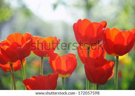 Beautiful tulips field in spring time with sun rays - stock photo