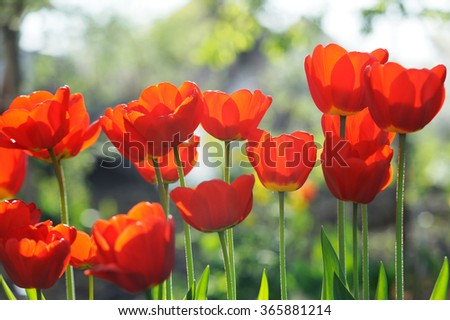 Beautiful tulips field in spring time with sun rays