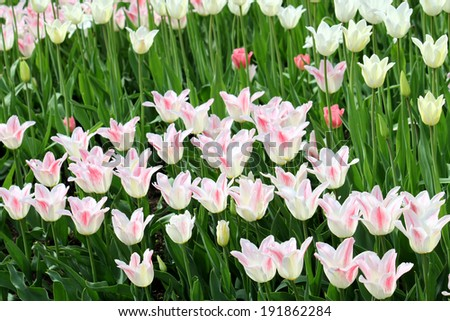 Beautiful tulips glowing in sunlight - stock photo