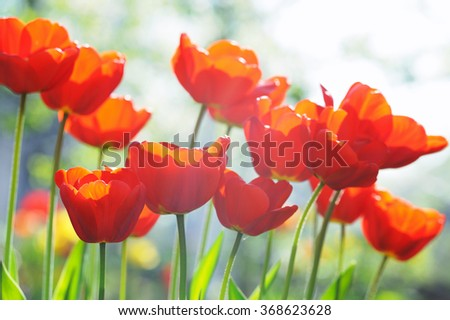 Beautiful tulips in bright sun rays in the garden - stock photo