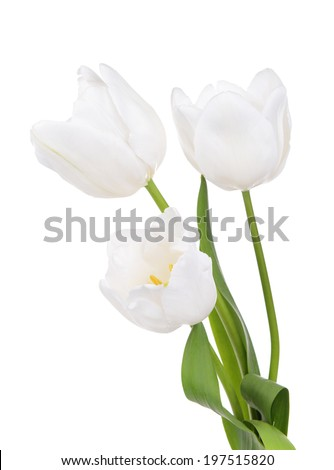 Beautiful tulips in bucket isolated on white