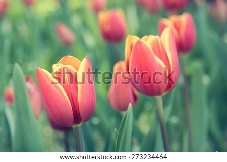 Beautiful tulips in spring. Red, orange and yellow tulips. - stock photo