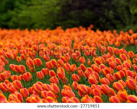 Beautiful tulips on Canadian Tulip Festival in Ottawa - stock photo