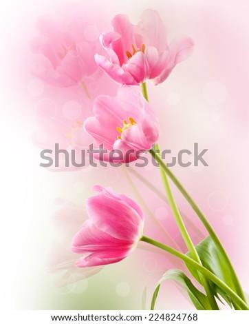 Beautiful tulips on light background - stock photo