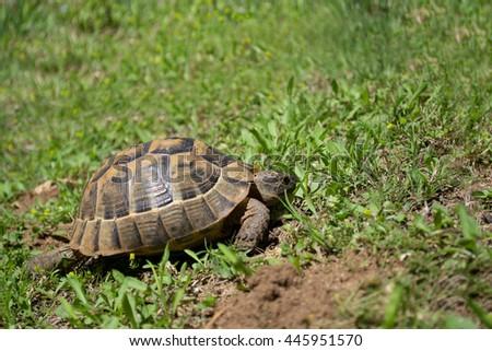 Beautiful turtle on a green grass - stock photo