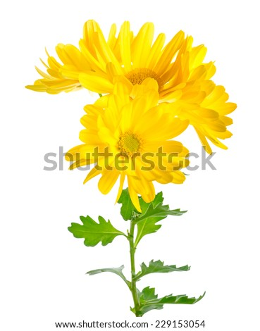 beautiful twig of yellow chrysanthemum is isolated on white background, closeup - stock photo