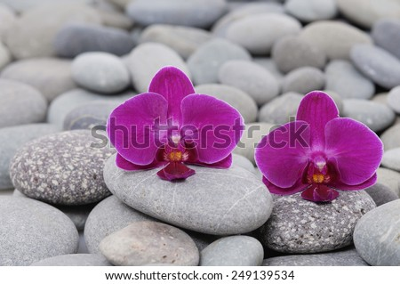 beautiful two orchid on gray stones