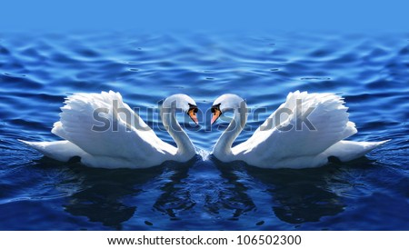 beautiful two swans in the blue lake