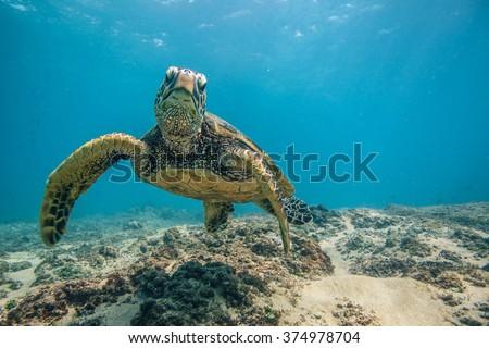 Beautiful Underwater Postcard. Hawaiian Sea Turtle aka Holu Floating Up And Over Coral reef. Loggerhead in wild nature habitat  - stock photo
