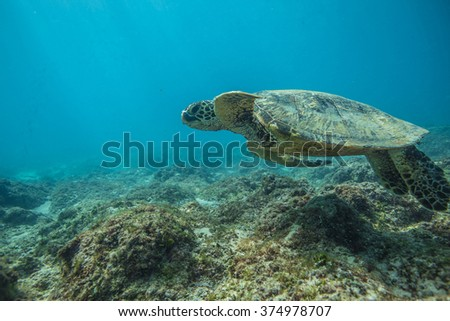 Beautiful Underwater Postcard. Hawaiian Sea Turtle aka Holu Floating Up And Over Coral reef. Loggerhead in wild nature habitat