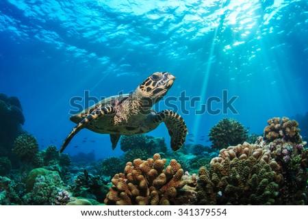 Beautiful Underwater Postcard. Maldivian Sea Turtle Floating Up And Over Coral reef. Loggerhead in wild nature habitat  - stock photo