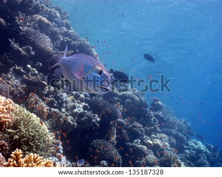 Beautiful underwater view - landscape with the snapper and hard and soft corals in behind. Red Sea, Egypt