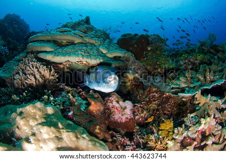 Beautiful underwater view with the huge Giant pufferfish in the front. Healthy coral reef, with lots of schooling fishes, light and hard and soft corals. Nusa Penida, Indonesia.