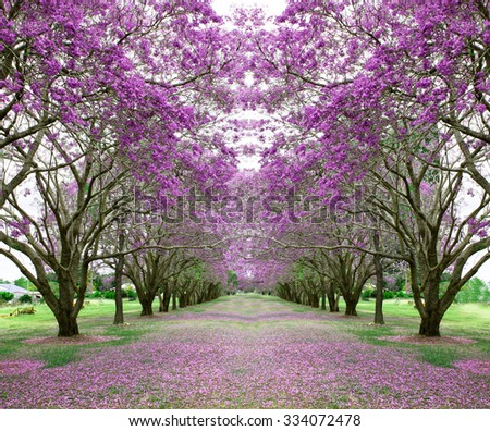 beautiful vibrant jacaranda trees in full bloom with pink flowers